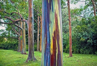 rainbow eucalyptus nature s most colorful tree weirdtwist. Black Bedroom Furniture Sets. Home Design Ideas