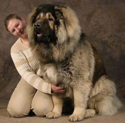 Russian Bear Hunting Dog: Caucasian Ovcharka Nagazi