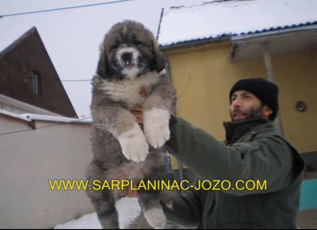 Russian Dog That Hunts Bears Puppies