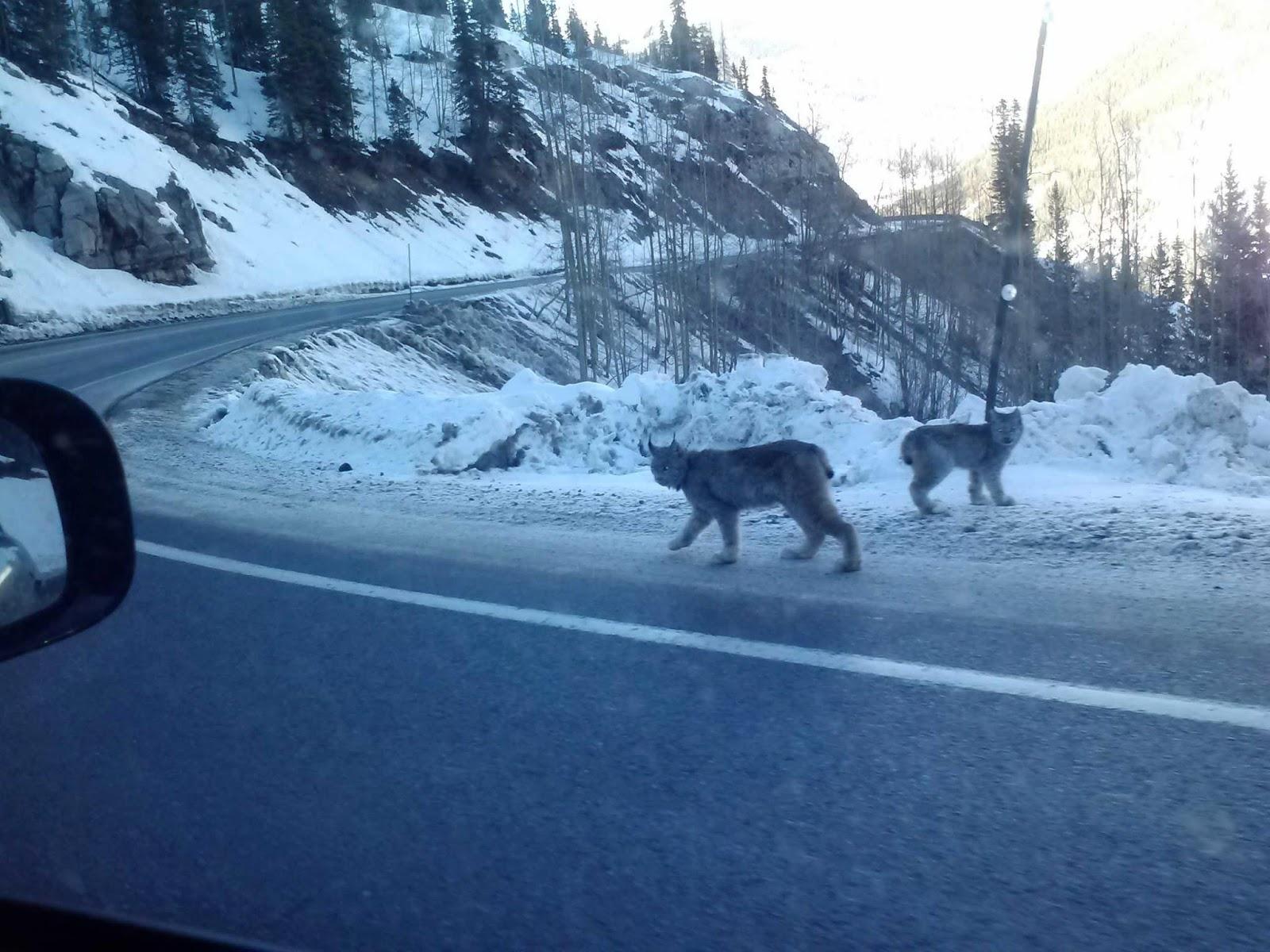 Rare Lynx Sighting In Colorado