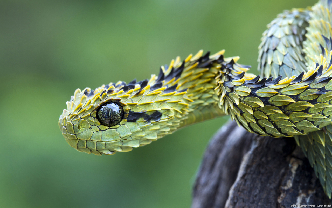 bush viper�s leaflike scales weirdtwist