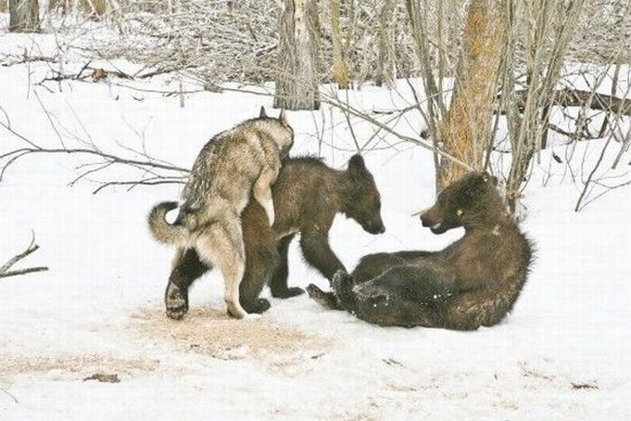 Wolf Mating With Bear Cub